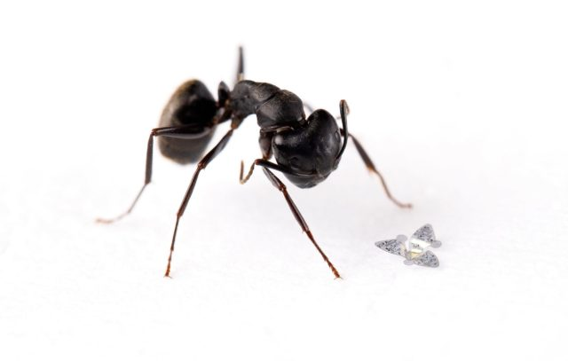 Microflier Compared to Ant scaled