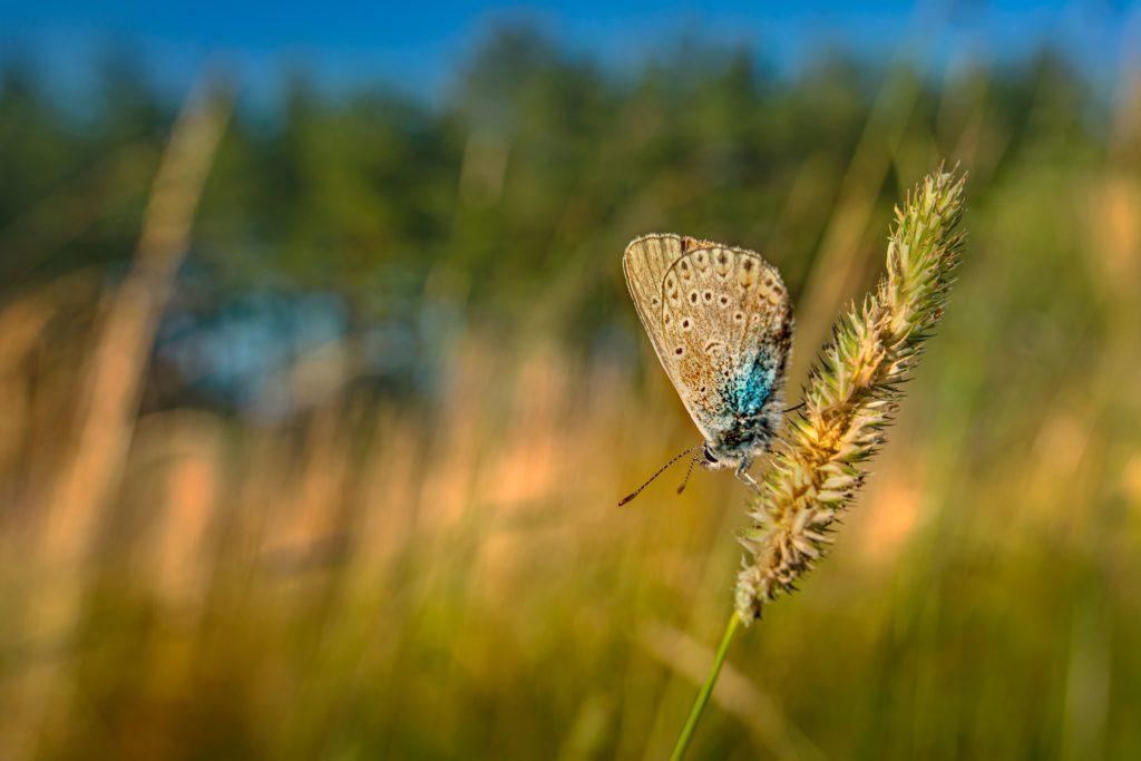 λεπιδόπτερο-πεταλούδα