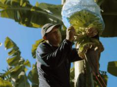 Chiquita harvesting